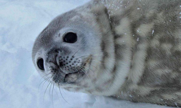 «Літо в Антарктиді». Як тюлені допомагають вивчати кліматичні зміни? Продовження циклу сюжетів у «Сніданку з 1+1»