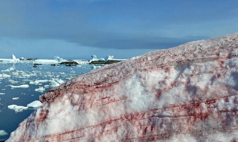 Червоним по білому. Цвітіння снігових водоростей – одна з ознак зміни клімату