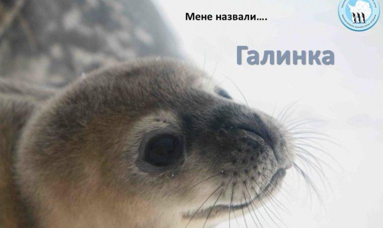 Галинка - перше тюлененятко, яке народилося на Галіндез