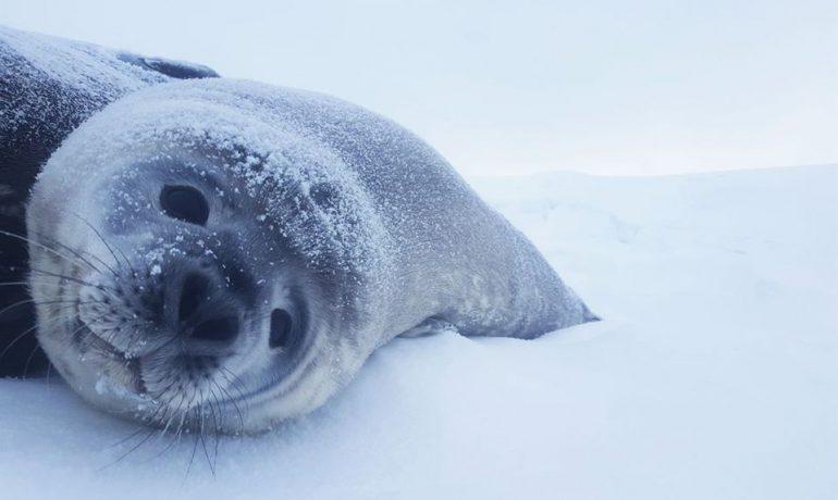 Весна в Антарктиді. Небалувана Галя та інші тюлені. Про роботу біолога на станції «Академік Вернадський».