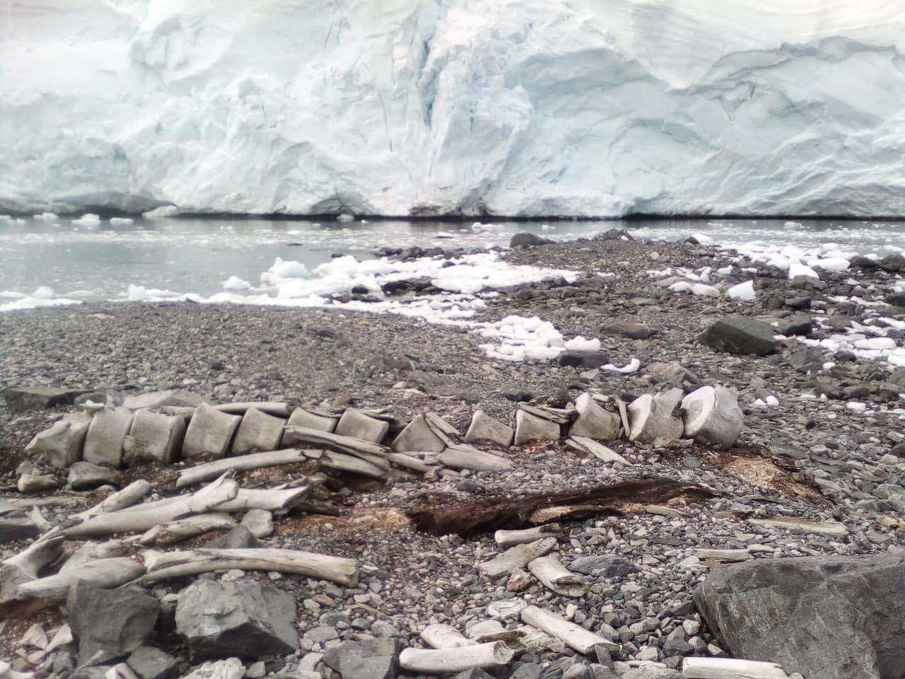 """Велетень із сьомого століття: вчені НАНЦ дізналися, скільки років загадковому скелету кита в районі """"Вернадського"""""""